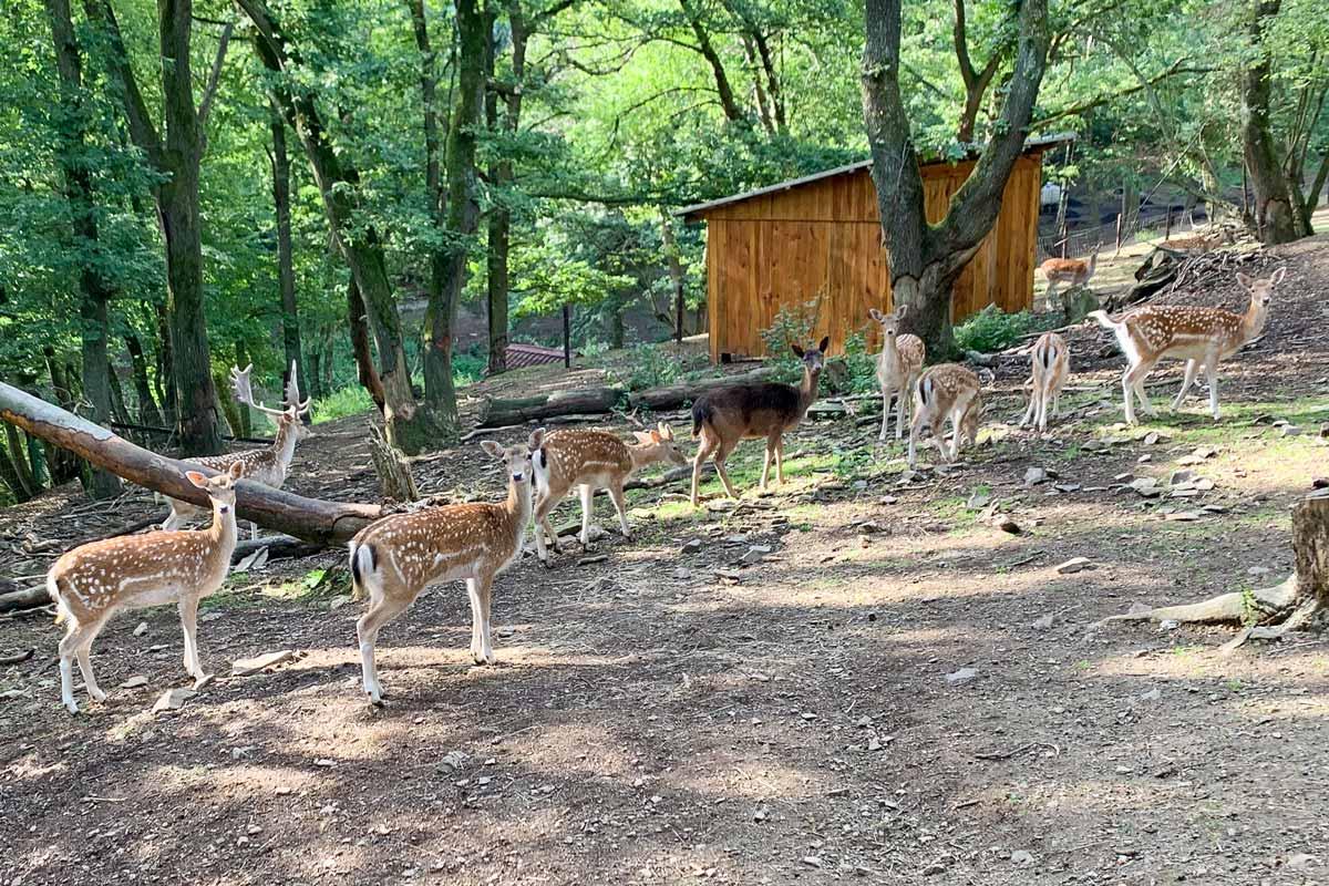 wildpark_schmidt-damwild5