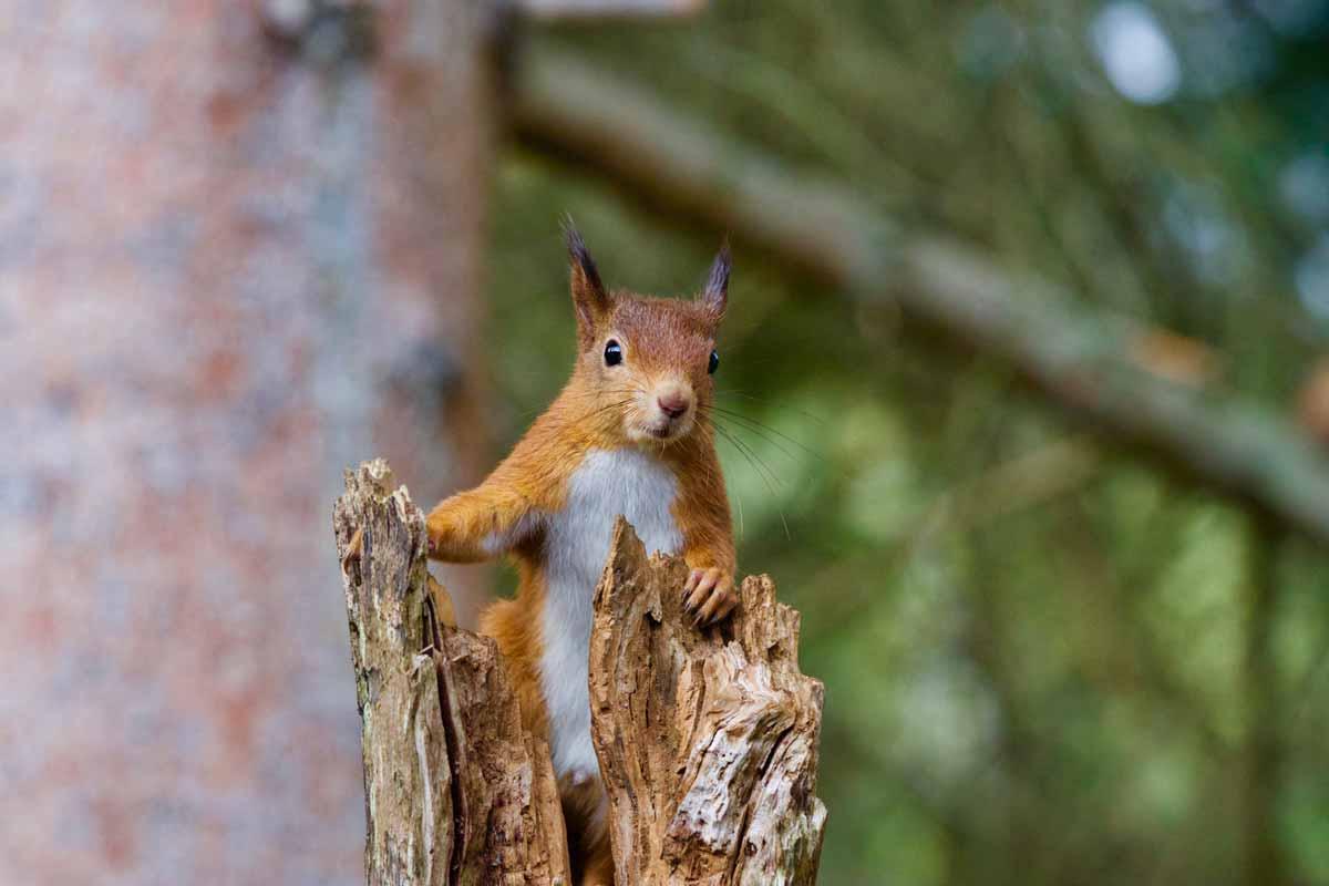 wildpark_schmidt-eichhoernchen