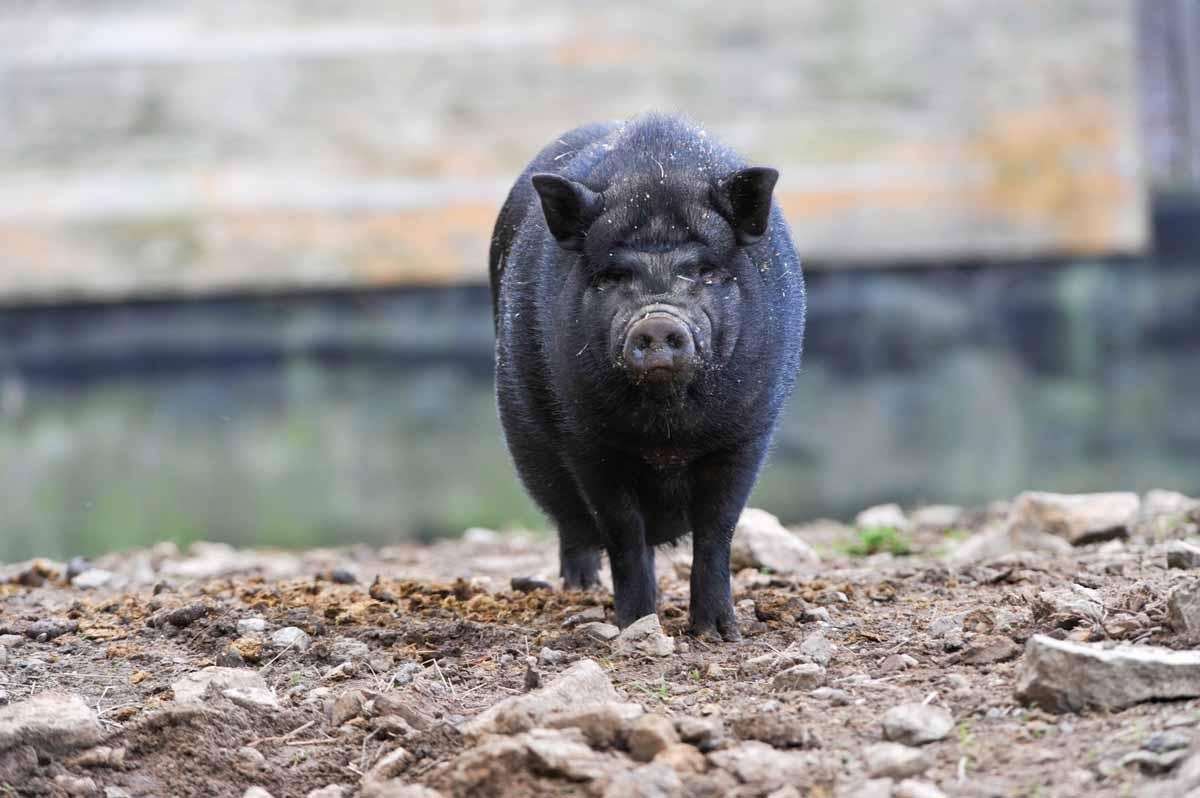 wildpark_schmidt-haengebauchschweine1