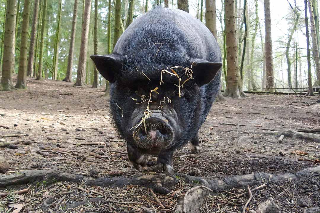 wildpark_schmidt-haengebauchschweine2