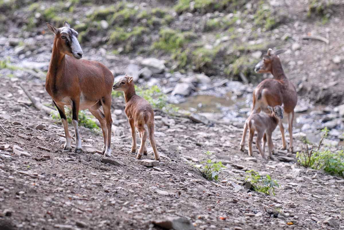 wildpark_schmidt-mufflons1