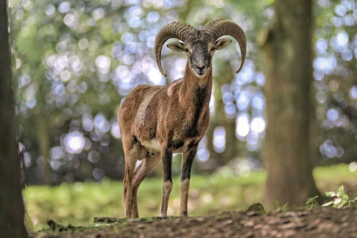 wildpark_schmidt-mufflons2