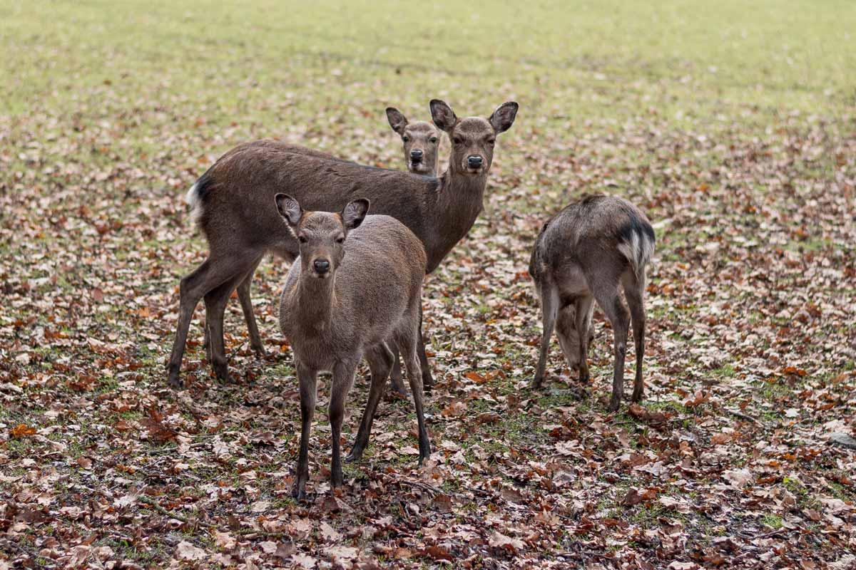 wildpark_schmidt-sika1