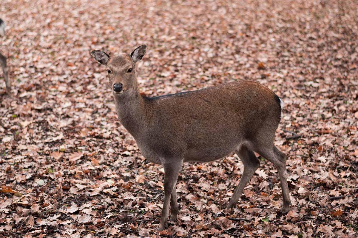 wildpark_schmidt-sika3