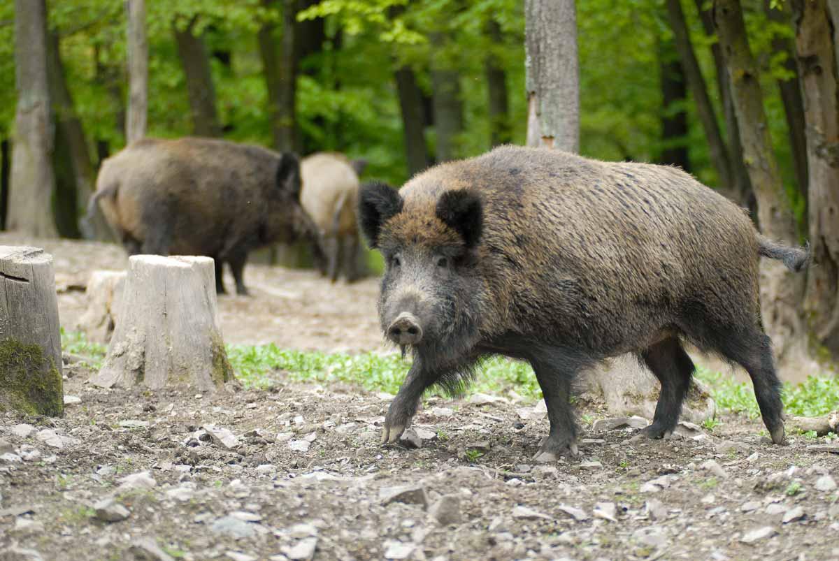 wildpark_schmidt-wildschweine3